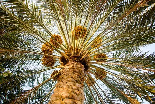 Як пальма