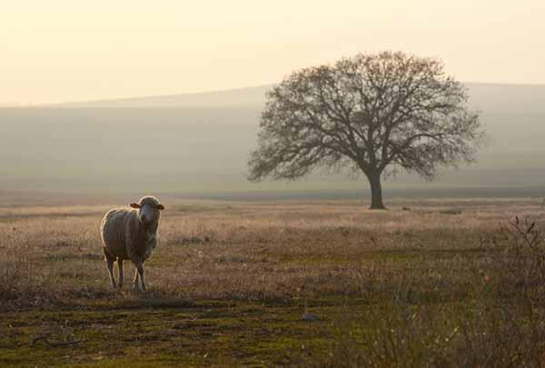 Як овечка мовчить...